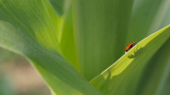 Thumbnail for Ladybug on the corn leaf shallow DOF 4K 2160p 30fps UltraHD footage - Tiny red Coccinellidae beetle