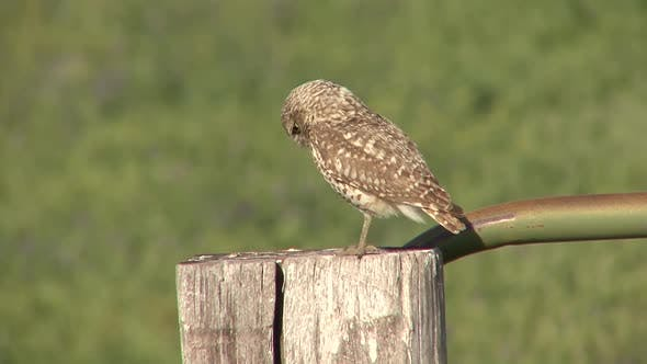 Thumbnail for Burrowing Owl Adult Lone Perched Resting in Summer Fencepost Post