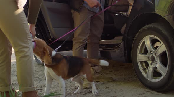 Thumbnail for Beagle Dogs Leaving Car and Eating Treats from Owners
