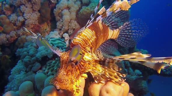 Thumbnail for Lion-Fish