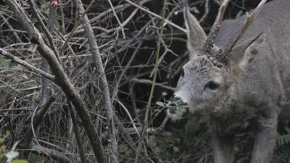 Roe Deer Grazing