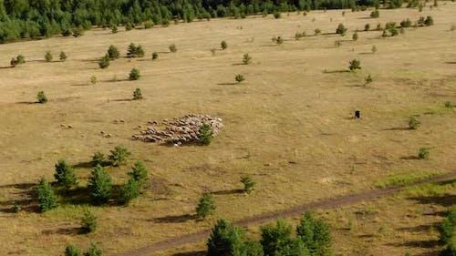 Sheep Graze on a Large Plain a Shepherd Walks with a Dog