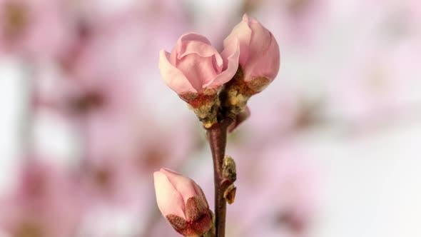 Thumbnail for Peach Fruit Flower Blossom Timelapse on White 2