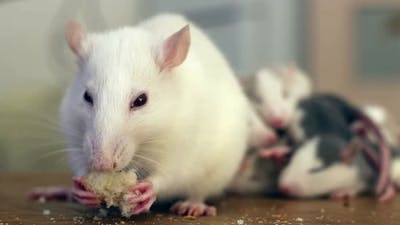 Close-up of domestic white pet rat eating bread.