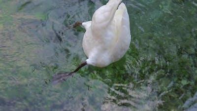 dives swan