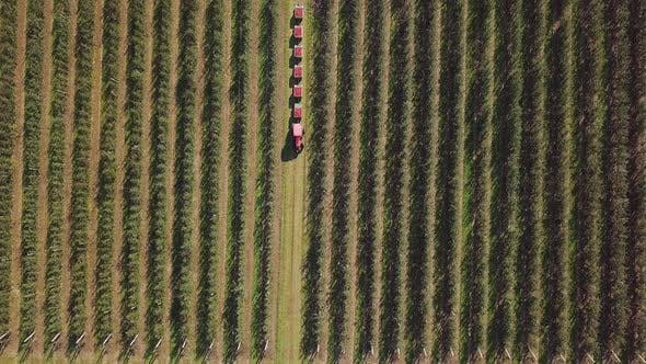 Aerial view of apple orchard. Fresh picked apple harvest in wooden bins on the farm.