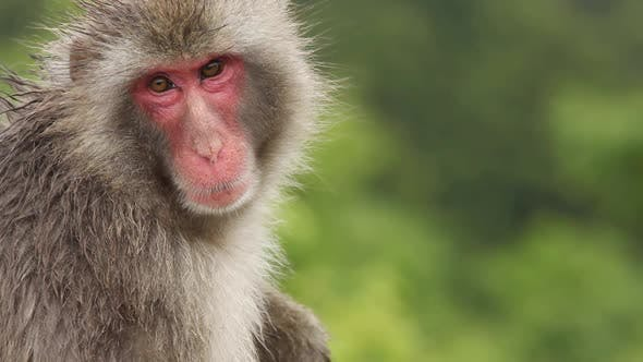 Thumbnail for Japanese Macaque (Snow Monkey)