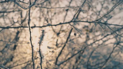 Winter Forest with Trees Covered with Frost at Sunlight