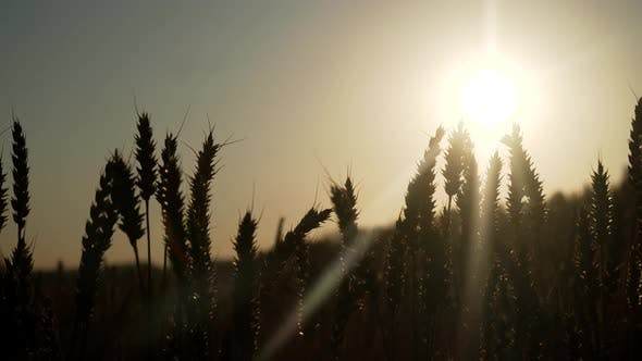 Thumbnail for Wheat Field at Sunset