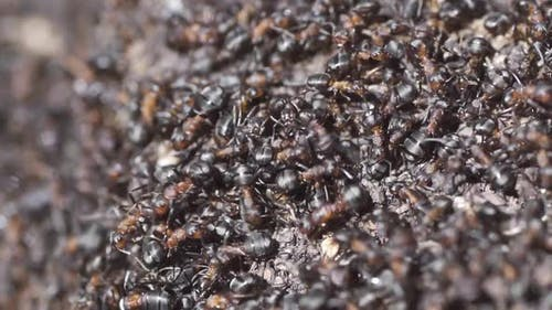 Ants on the Anthill in the Woods Closeup Macro