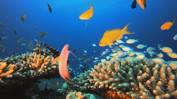 Thumbnail for Tropical Marine Colorful Fish