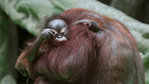 Thumbnail for Baby Monkeys Orangutans Next To the Mother