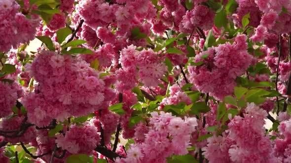 Background with Flowers on Beautiful Flowering Japanese Cherry Sakura