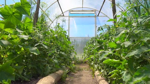 Seedlings of Cucumbers and Tomatoes Bloom in a Bright Spacious Greenhouse in an Eco-friendly