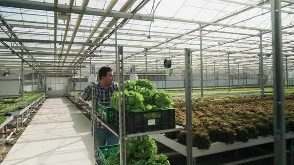 Thumbnail for Farm Worker in a Greenhouse Pushing a Cart with Organic Green Salad