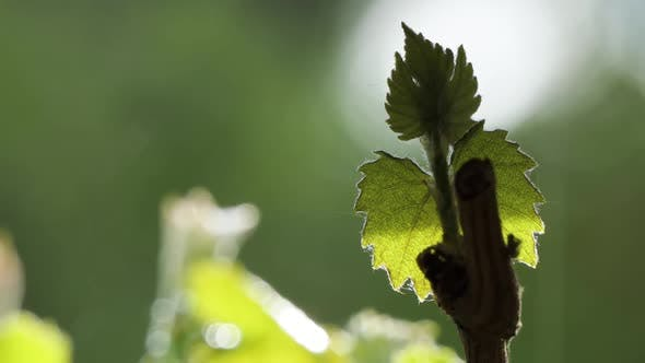 Thumbnail for Rain Drops Falling on a Blurred Out of Focus Background, Grape Leaf