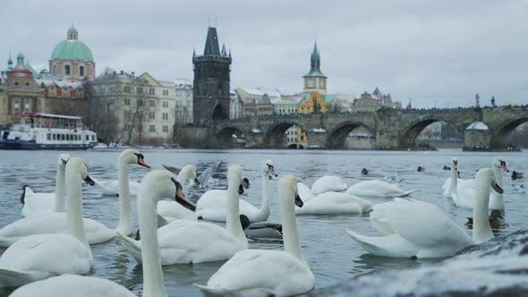 Thumbnail for Swans on Vltava river