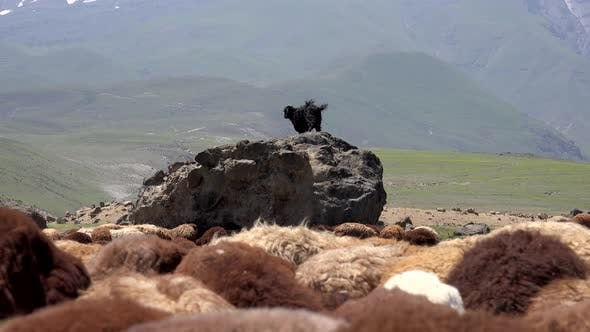 Thumbnail for A Black Goat on the Rock Above the Brown Sheep Herd