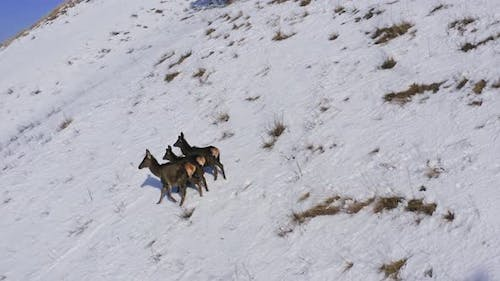 Aerial View of Three Wild Marals Running Away Down a Steep Mountainside