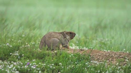 Real Wild Marmot in Nest