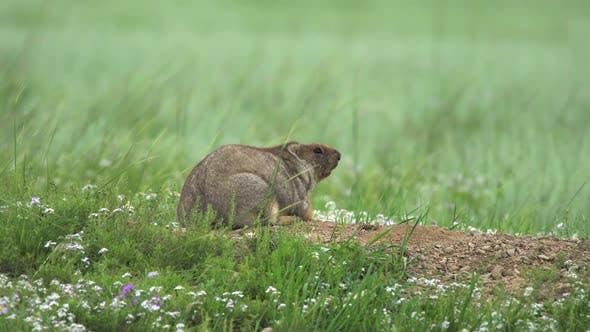 Thumbnail for Real Wild Marmot in Nest