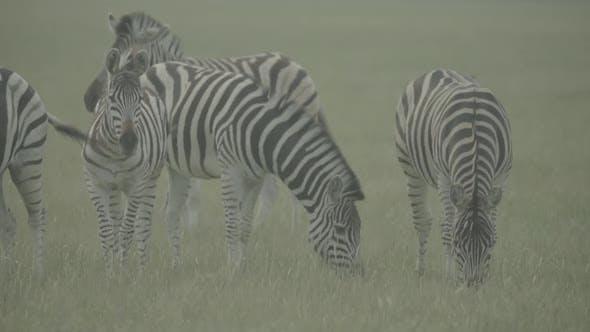 Thumbnail for Zebra Zebras in the Field. Slow Motion