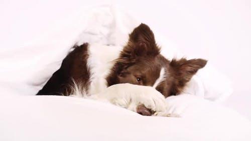 Hund unter einer Decke
