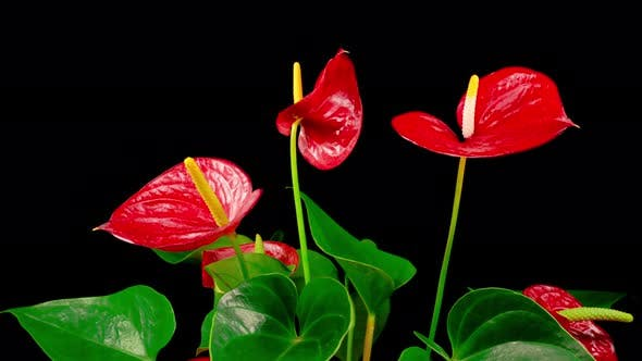 Cover Image for Time Lapse of Opening Red Anthurium Flower