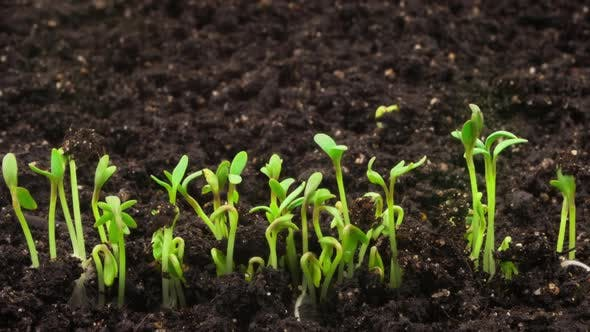 Thumbnail for Growing Plants, Sprouts Germination Newborn Cress Salad Plant in Greenhouse Agriculture