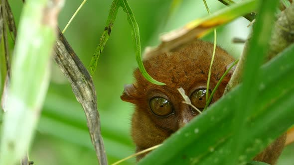 Philippine tarsier one of the smallest primates looking towards the camera