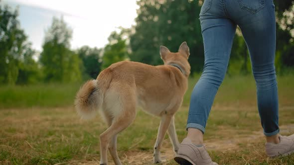 Thumbnail for An Obedient Dog Without a Leash Walks Along a Path in a Park Next To a Woman.
