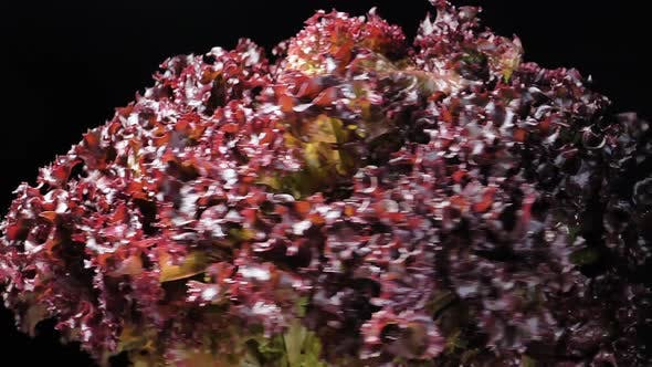 Thumbnail for Bunch of Red Lettuce with Bright Leaves on Black Background