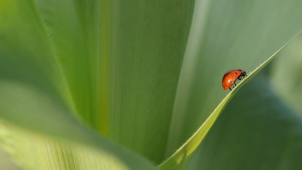 Thumbnail for Tiny red Coccinellidae beetle close-up 4K 2160p 30fps UltraHD footage - Corn leaf and ladybug shallo