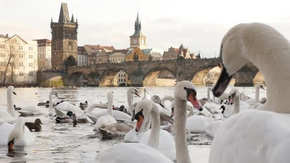Thumbnail for Czech Republic city of Prague scene with white Cygnus on water 1920X1080 HD footage - Slow motion  s