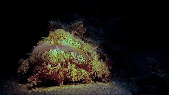 Thumbnail for Underwater Scorpionfish