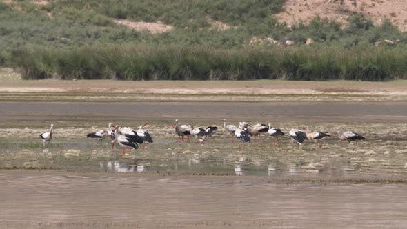 Cover Image for Group of Storks in A Lake in Morocco