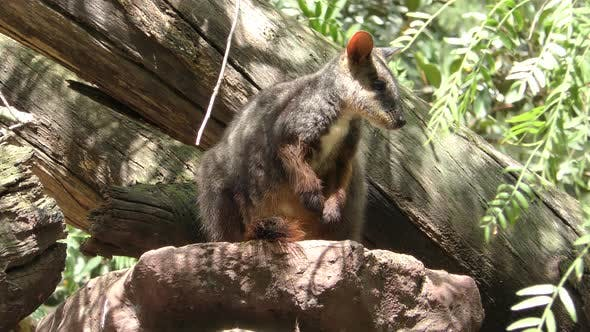 Yellow-footed Rock-wallaby Adult Lone Resting Looking Around