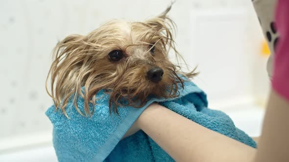 Thumbnail for Drying Off a Dog