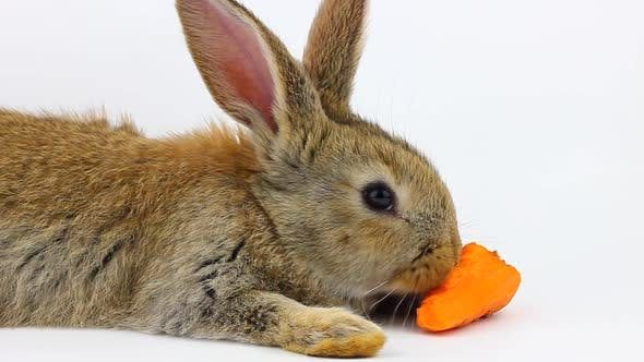 Little Fluffy Cute Brown Rabbit Sits and Eats Orange Fresh Carrots Closeup on a Gray Background in