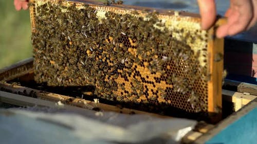 Bees on honeycomb frame. Bees turn nectar into honey. Work of beekeeper in apiary.