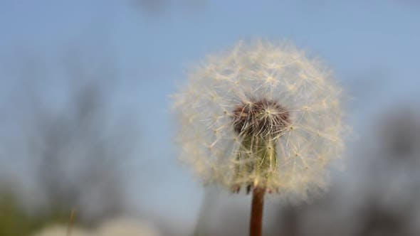 Thumbnail for Dandelions in the Spring 9