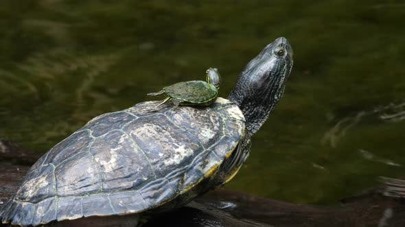 Sea Turtle with its Baby Swimming in the Cenote in Mexico