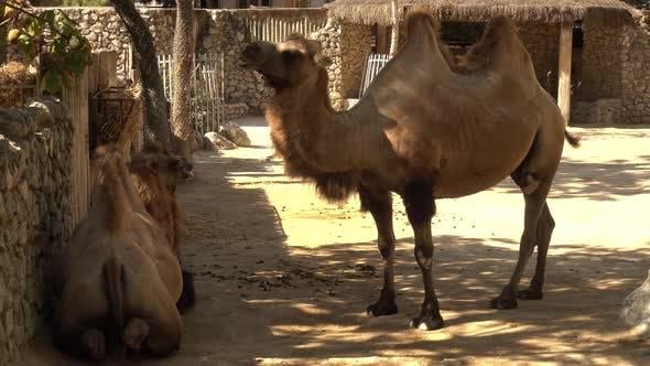 Thumbnail for Camel