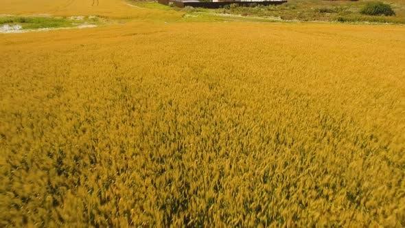 Luftaufnahme des Goldenen Weizenfeldes