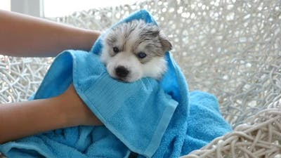 Blue Eyes Siberian Husky Puppy After Bath Is Covered With A Blue Towel