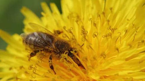 Yellow Dandelion in the Field. Close-up. A Bee on a Dandelion Collects Nectar.