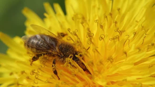 Thumbnail for Yellow Dandelion in the Field. Close-up. A Bee on a Dandelion Collects Nectar.