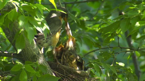 Thumbnail for Robin Adult Chick Young Family Nesting in Summer Babies Feeding Food Nest