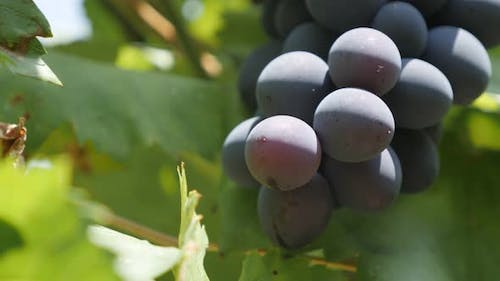 Grapes fruit on vines by summer shallow DOF 4K footage
