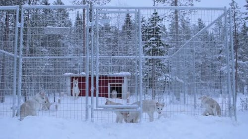 Siberian husky puppies in a fence, near a snow capped forest, in Lapland, Finland